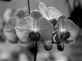 Orchid in B&W
