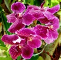 A Thai Orchid