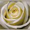 White Rose Challenge P9268574