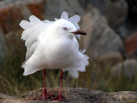 Silver Gull 02