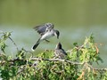 Kingbird and Chick