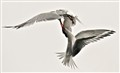 tern fight