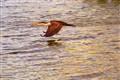 Evening-Cormorant