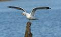 Sea Gull Screeching