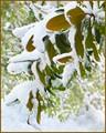 Frozen Rhododendren