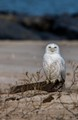 Snowy Owl on the Beach
