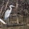 Great Blue Heron-1