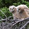 Great Horned Owl Chicks 2010 3657