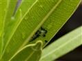 Coccinnella septempunctata larvae