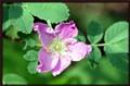 Wild Rose (Carolina Rose)