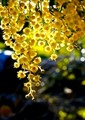 Golden shower of blooms