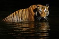 Malaysian Tiger Bathing