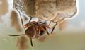 Wasp Worker