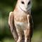 DGB_7724_Barn Owl