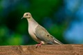 Mourning Dove in the my fence. Beautiful colors  on the bird enhanced by sunlight.