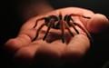 Furry tarantula