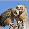 Great Horned Owl Babies 14