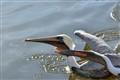 pelican112110_14sm