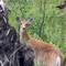 Oh Deer! Glacier NP, the Inside North Fork Road, Glacier NP, Montana