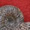 Large Ammonite Shell