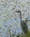 Alert heron,Salt lake-Kolkata,India
