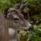 Deer_fortwarden