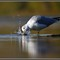 Seagull and Water1
