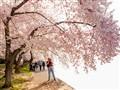 Cherry blossom shooter