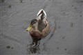 A Rather Wet Duck