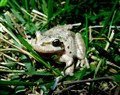 Frog in my yard