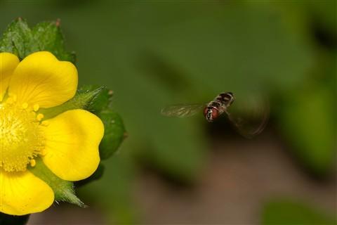 hoverflywithflower