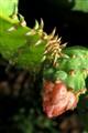 Florida cactus