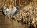 Great Blue Heron landing on Links Pond