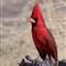 cardinal_3957_vertical_BPN