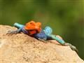 Agama lizard (male)