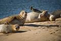 Common Seals basking on Brancaster beach
