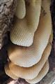 Wild Bee Hive and Honeycomb