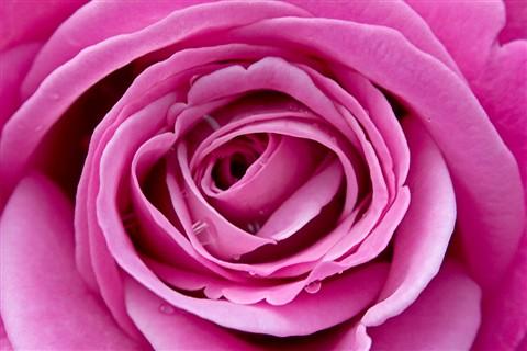 Rose Macro 2