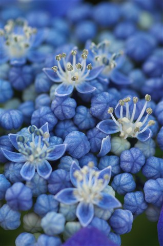 Blue Tentacle Flowers