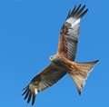 Red Kite. Blue Sky