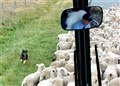 Sheep Dog Working & Having Fun
