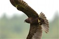 Circus aeruginosus (Western Marsh-harrier)