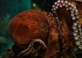 Octopus. COEX Aquarium. Seoul