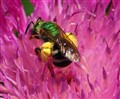 The green bright metallic bee. DSC06593