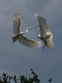 Egret face off