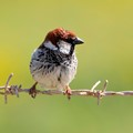Male Sparrow on Barbed Wire