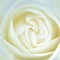 Soft white rose: