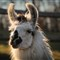 Llama shoot