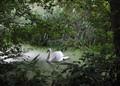 Alderfen Swan