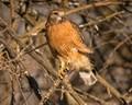 Red Shouldered Hawk in Kansas USA